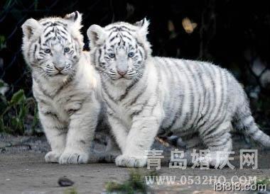 属虎的和什么属相最配 属虎的属相婚配表
